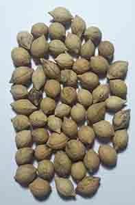 putrajeevak seed